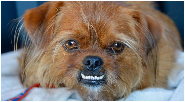 Underbite dog breeds, what it is and how to treat it