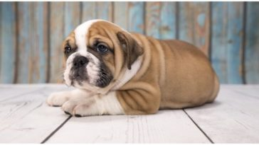 Is the victorian bulldog the best bulldog out there?