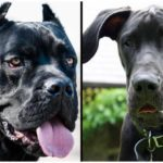What is the Cane Corso Great Dane Mix and how do they act